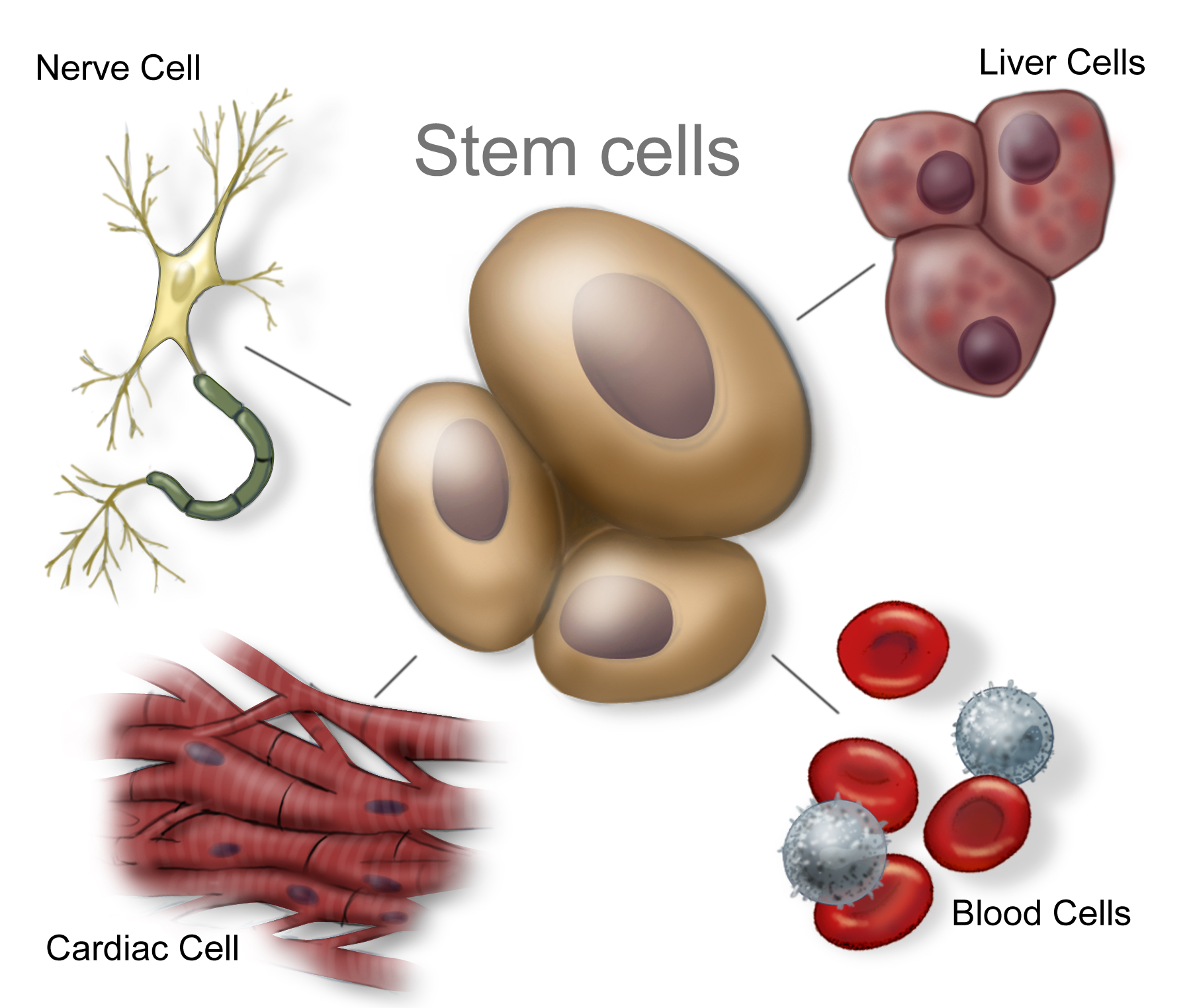 about adult stem cell